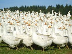 Free range goose forChristmas form Brisbourne Geese Shrewsbury Shropshire