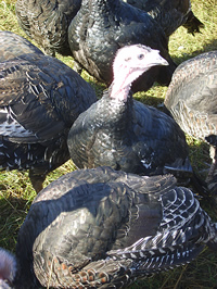 Brisbourne Geese Shropshire rear free range bronze turkey for Christmas